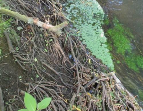 Das Niedrigwasser enthüllt die Bedeutung des Baumsaums: von der Natur kostenlos gebotener Erosionsschutz durch Wurzeln.