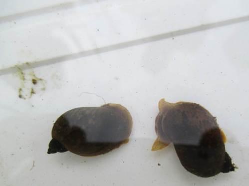 Bei all der zu verarbeitenden Algen- und Pflanzenmasse dürfen Schnecken natürlich nicht fehlen.