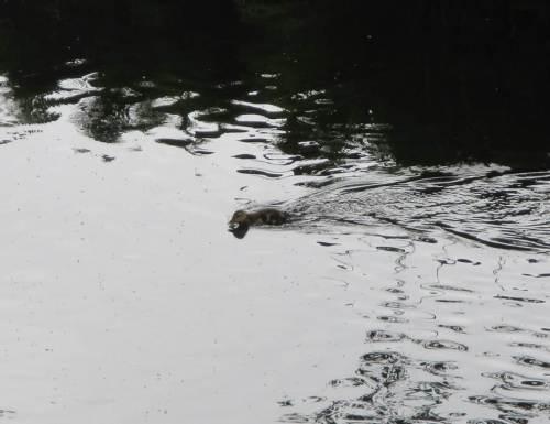 Wie die Wilden jagen die Küken durchs Wasser - der Tisch ist reich gedeckt mit frisch geschlüpften Zuckmücken und vom Regen in den Bach gespülten Landinsekten.