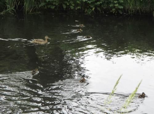 Eine Entenmutter mit kleinen Küken - eifrig bei der Nahrungsaufnahme.