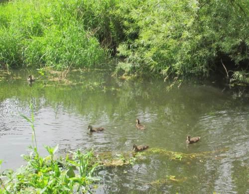 Wo nun alle, auch die älteren Entenküken - Mutter wachsam dabei - so munter fressen, will ich`s doch mal wissen ...