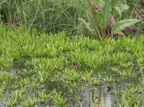 Krebsscherendschungel - für junge Blesshühner ein Paradies.