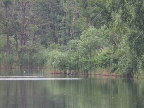 Alle, die dabei waren, behaupten: weit entfernt am gegenüberliegenden Ufer, daher hier unscharfe Ausschnitte, saß ein Pirol auf totem Baum. Im Foto sieht man einen gelben Fleck über bewegtem Wasser - von seinem Ansitz stürzte sich der Pirol auf die Wasseroberfläche und flog zurück.