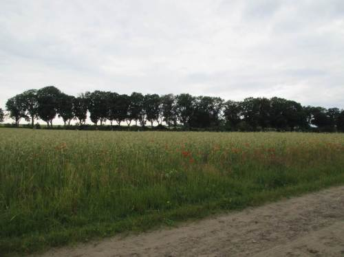 Am Horizont eine alte Allee, davor wieder mal ein Acker ohne Ackerrandstreifen, aber immerhin mit Mohn und ein paar Kornblumen.