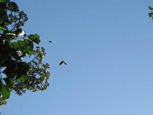 Wir erfreuen uns unter anderem an unserem Garten, z.B. an dem wilden Getümmel der Nektarsammler Fliege, Biene, Hummel am Imkerei-Neophyt Bienenbaum - begleitet von eifrigen Jägern, die das Terrain kontrollieren, z.B. Hornissen.