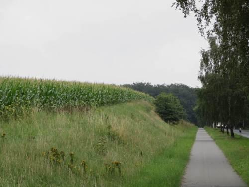 Auch im vertikalen Horizont - Mais auf dem Höhepunkt.