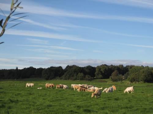 Derweil geniessen größere Herden bunter Kühe die Herbstsonne in der Wedeler Marsch.