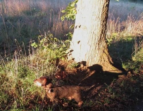 Socke beim sonnigen Morgenspaziergang. Dieses Foto ist der Beweis: hinter jedem noch so kleinen Hund steht ein großer schwarzer Terrier.