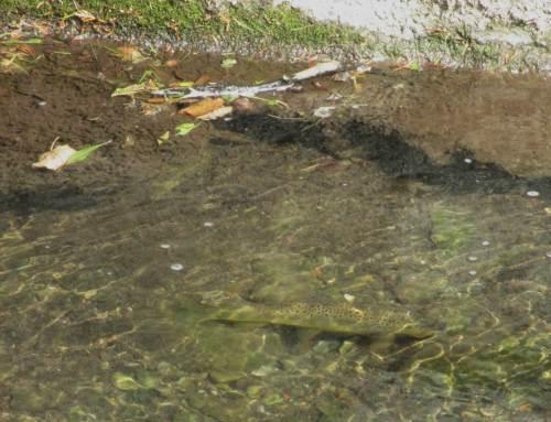 Und wenn die Wassertiefe etwas größer ist - UND ein größeres Versteck vorhanden ist -, können wir auch ältere Forellen sehen.