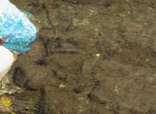 Eine kleine Forelle aus dem Geburtsjahr 2015, schön bunt.