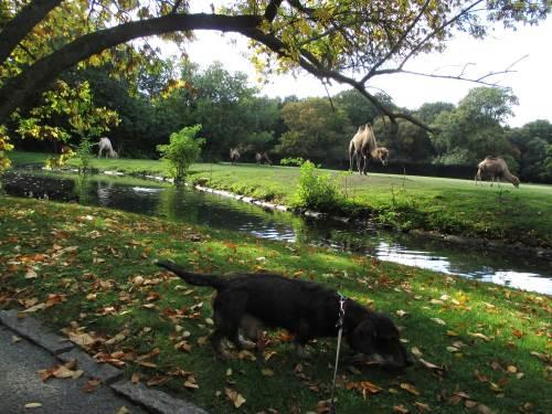 """Besonderen Spaß hat ein Hund aus einer Jagd-Traditionszucht mit früher Anleitung natürlich, wenn viel Abwechslung an Tierspuren (-gerüchen) geboten wird. Ob es nun gar wie im Tierpark Kamele sind, oder """"nur"""" Wassergeflügel in den Abtrennungsgräben um Gehege."""