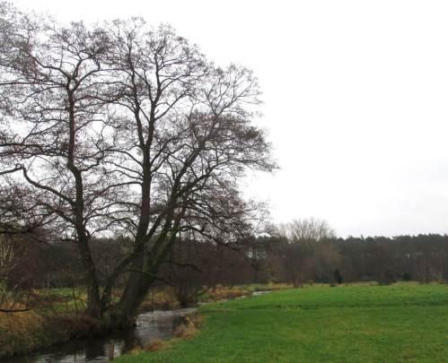 Alt-Erle, oft auf den Stock gesetzt, am norddeutschen Forellenbach.
