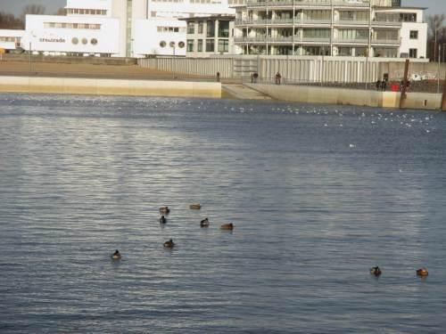 Der Hafen gehört momentan dem Wassergeflügel, primär Lachmöwen und Stockenten.