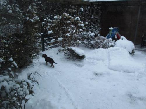 Hinten strebt der Kampfdackel auf befreitem Weg der Garten-Schneewildnis zu. Zurück kommt er mit Tiefschnee-Bart - er liebt es!