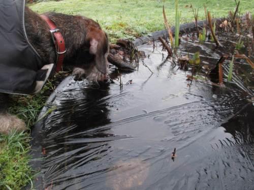 Socke, unseren alten, blinden Rauhaardackel interessiert der Teich als Trinkgelegenheit. Entgegen Menschenmeinung findet er eine kleinklimatisch freie Wasserstelle - man wurdert sich über solche Findigkeit ...