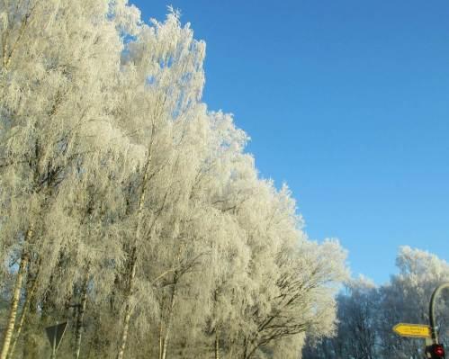 Birken-Raureif in winterlicher Morgensonne, Trelder Berg.