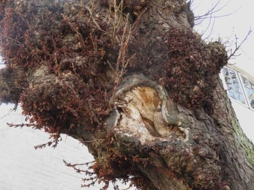 Vorsicht, Baum hört mit! Ein Ohrloch in der Uralt-Kastanie vor dem Freihof.