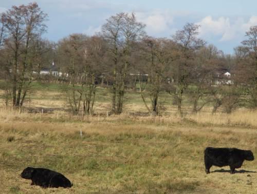 Galloways und Reiher - extensive Viehhaltung bietet artenreichen und speziellen Wiesenblumen Lebensraum, z.B. auch Orchideen.