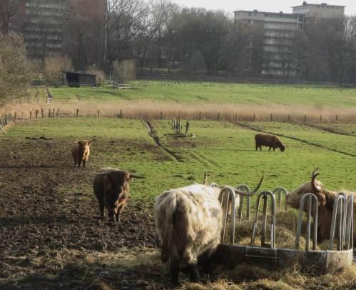 Schottisches Hochlandvieh, Longhorns - Schlamm der zertrampelten Wiese und Zufutter in mildem Winter zeigen: Dies ist Hobby-Haltung, keine extensive Flächennutzung. Für Boden- und Gewässerschutz wäre eine Abstockung auf halbe Viehzahl pro Hektar wünschenswert.