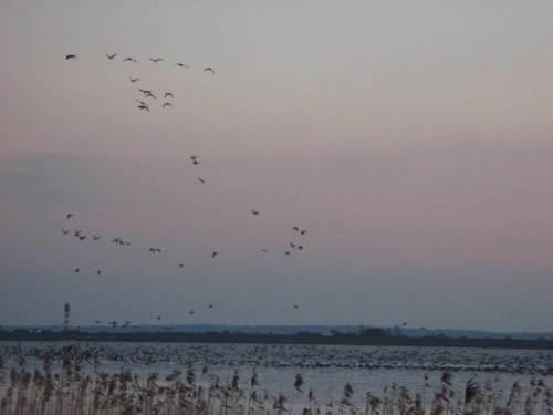 Während die Masse der Gänse sich auf dem Wasser niederlässt, überlegen ein paar es sich anders, fliegen wieder auf und über den Deich ins Binnenland.