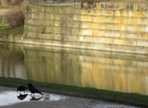 Rabenkrähen trinken vorm sonnenbeleuchteten Zwinger in Parkwegpfütze, balzen.