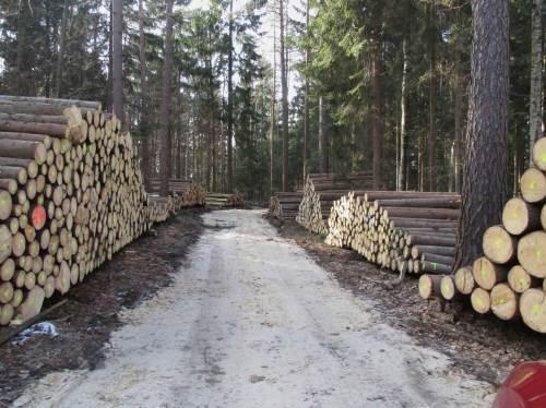 Intensiv wirkt Holzeinschlag im Nationalpart Sächsisch-Böhmische Schweiz Richtung bunter Mischwald. Große Nadelholzmengen werden geschlagen und einer Nutzung zugeführt.