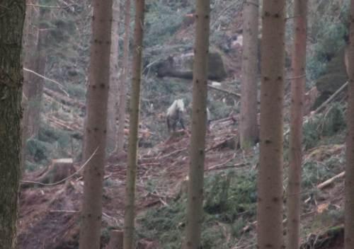 Etwas entfernt zeigte ein Rückepferd mit seinem Chef seine Künste im Steilhang.