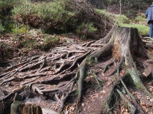 Ein weiteres beeindruckendes Beispiel für Erosionsschutz durch Baumwurzeln.