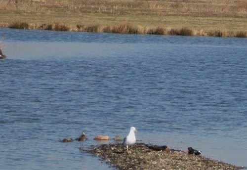 Die gelandete Möwe begeistert die Austernfischer weniger. Sie schimpfen, vorsichtig geduckt.