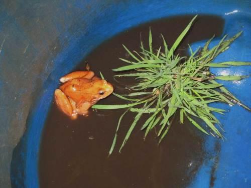 Roter Frosch auf Kurzbesuch beim NABU Wedel. Kurz darauf wurde er am Fundort wieder ausgesetzt.
