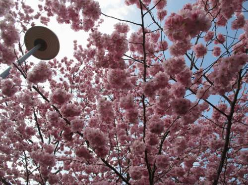 Frühling, Version Japanische Kirschblüte.