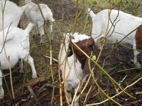 Laubgehölze sind nach Verzehr von Gras und Stauden schnell entrindet.