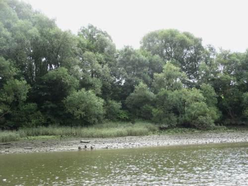 Auch mitten im Hafen - man wundert sich! So sah früher mal das gesamte Elbe-Ufer aus. Pflanzensukzession mit beeindruckendem dreidimensional großem Tide-Auwald.