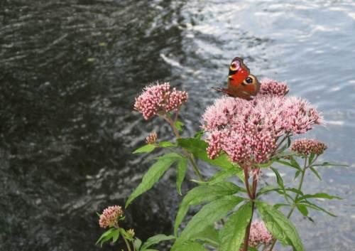 Überall zwischen den Sonnenflecken des licht beschatteten Bachs stecken jetzt die Männchen der Prachtlibelle C. virgo ihre Reviere ab. An staudenbewachsenen Stellen treffen nun die Schmetterlinge ein - Pfauenaugen, häufig.