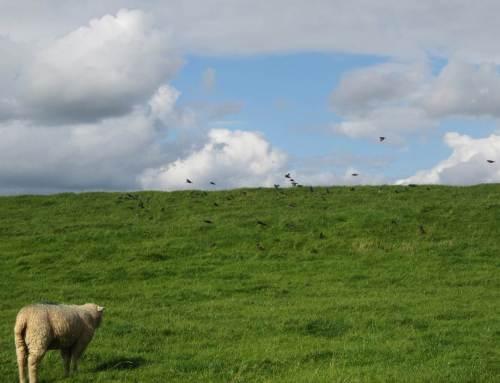 Aufnahmen von einer früheren Radtour - Stare im Schwarm, der Elbdeich als Nahrungs-Eldorado.