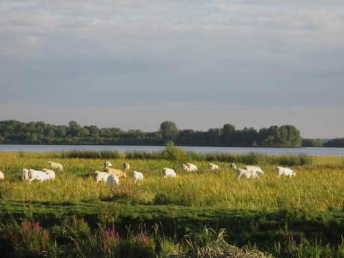 Zwischen Deich und Elbe eine weisse Rinderherde - zu deren Begleitern in einem nächsten Beitrag mehr, Stare wird das Stichwort sein.