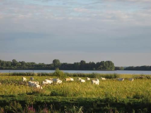 Diese weisse Herde war schon in einem anderen Blog-Eintrag zu sehen. Hier erhebt sich links im Foto gerade ein Starenschwarm, der von der Bewegung der Rinder profitierte.