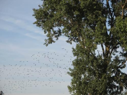 Am Fährmannssand fliegt gerade noch eine 500er-Gruppe Stare in die Pappeln.