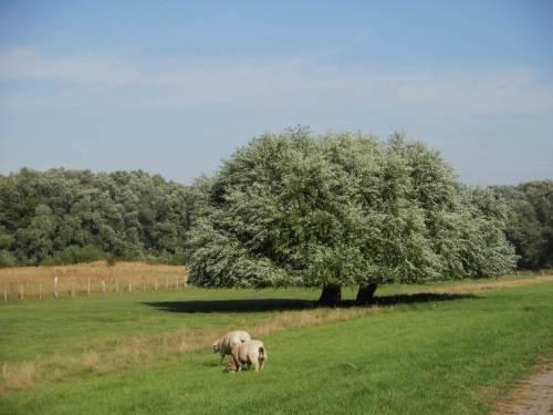 Elbvorland nahe Haseldorf - wer hat wohl die beiden Weiden so professionell getrimmt? Es ist 10 Uhr, noch morgenfrisch.
