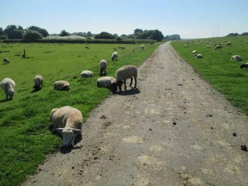 Gegen Mittag jappen die Schafe mächtig, legen sich platt auf das offenbar noch kühlende Grün. Später stehen sie in 3er- und 4er-Gruppen dicht zusammen und versuchen, sich gegenseitig Schatten zu spenden.