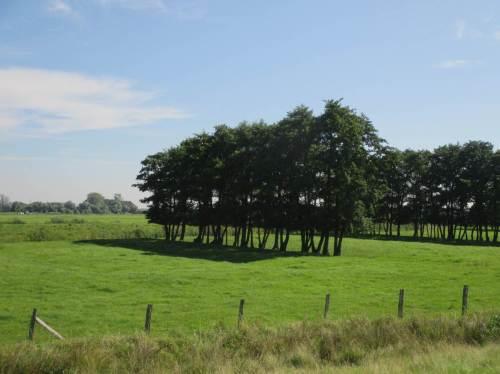 Schon fast Landschaftskunst, sauber vom Rindvieh geformte Erlen.