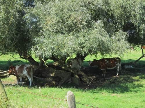 Hoffen wir mal, dass diese verbliebenen Alt-Weiden bald ein paar Nachfolger erhalten - zum Wohl der Weidegänger.