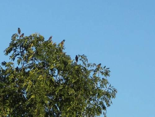 Wächter in den Baumspitzen - abendliches Star-Geschnatter neben der Mündung der Wedeler Au.