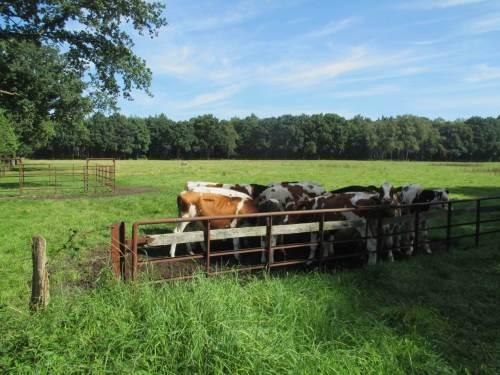 Kühe - Gedrängel an der Schattenspitze.