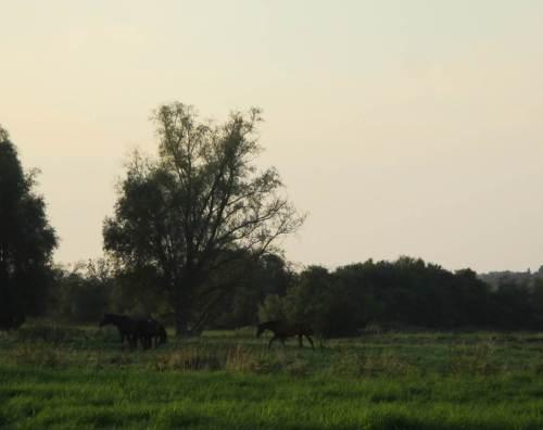 Pferde, abendlich.