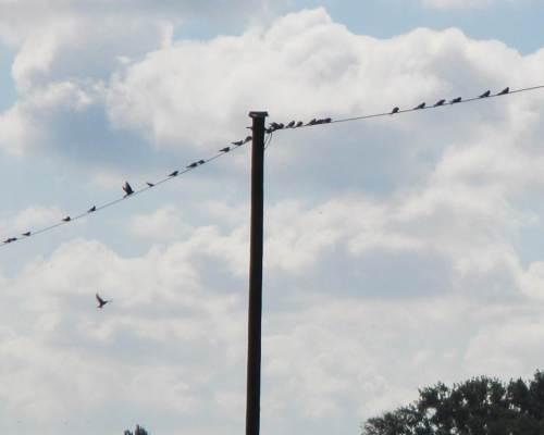 Die Schwalben sammeln sich tagsüber auf allen möglichen Leitungen, bevor sie nachts in Weidengebüschen übernachten. Die bevorstehende lange Südreise zeigt ihre Vorbereitungen.