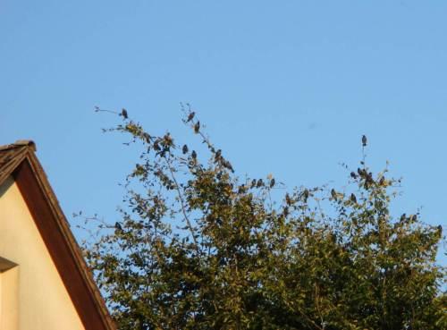 Und da sind weitere Stare, zahlenmäßig nicht zu unterschätzen, in Bäumen der Nachbarschaft.