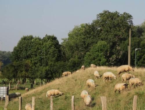Schafe schwitzen in ihrem Fell, kein Schatten am Deich.