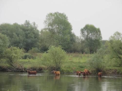 Der Blick zeigt eine Gruppe Schottische Hochlandrinder, die offenbar nun Besseres zu tun haben, als auf ihrer Weide zu grasen.