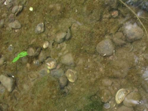 Neueinwanderer im aquatischen Wirbellosenreich - wie auch immer, irgendwer liebt diese (2 im Foto) Muscheln. Geöffnete Schalen in Mengen sprechen Bände.